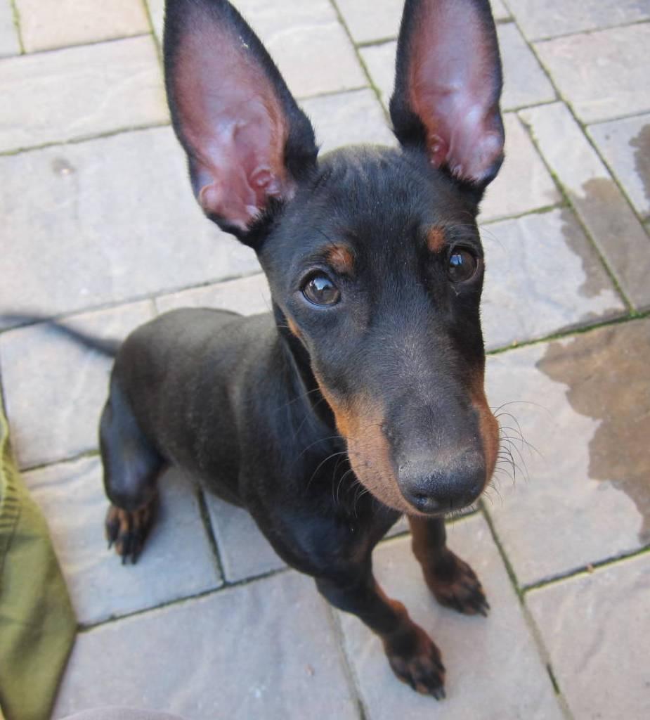 puppy Koby